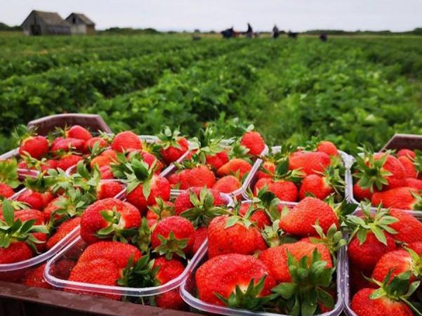 Польські фермери не мають ким замінити українців при зборі полуниці