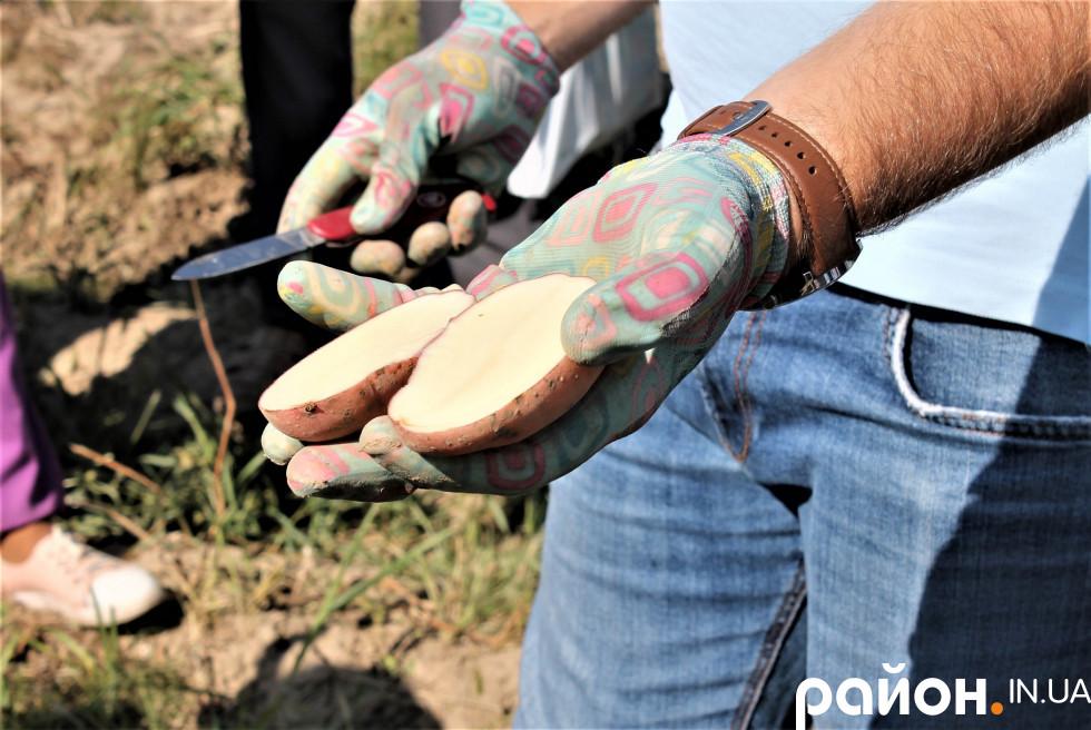 Обираючи сорт картоплі для посадки, агроном радить зважати на очікування від результату.