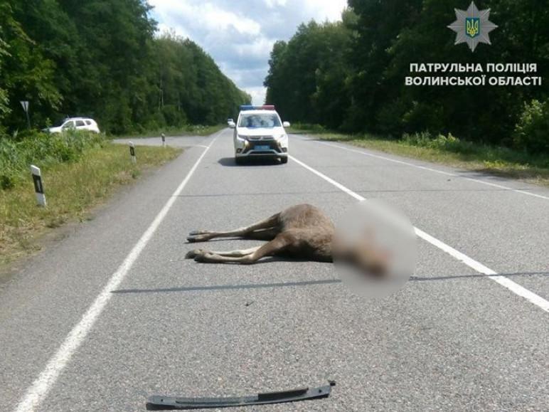 На дорозі загинула тварина