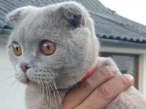 У Любмлі розшукують власника породистого котика