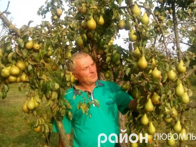 Ось так рясно вродили груші у Степана Солодухи.